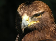 Wallpapers Animals aigle royal