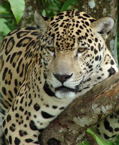 Wallpapers Animals Felines - Jaguars Jaguar