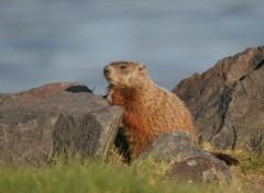 Fonds d'écran Animaux Marmotte