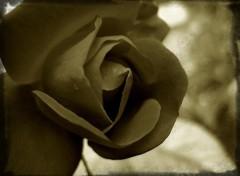 Fonds d'écran Nature Rose Noire