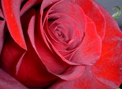 Fonds d'écran Nature Rose Red