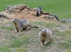 Wallpapers Animals Trois Petites Marmottes !!!