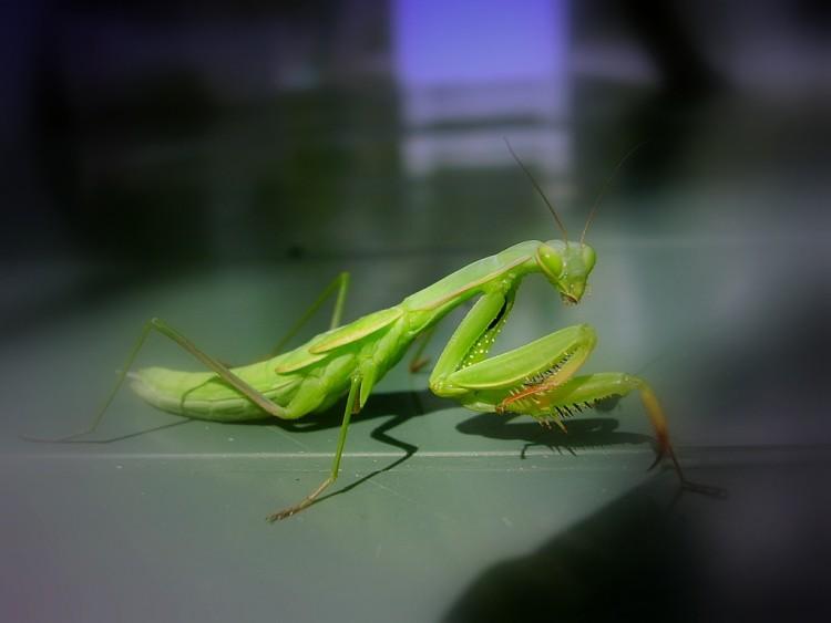 Fonds d'écran Animaux Insectes - Mantes Religieuse mante
