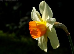 Fonds d'écran Nature Narcisse