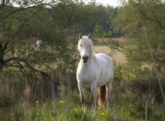 Fonds d'écran Animaux cheval de camargue