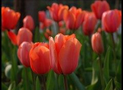 Wallpapers Nature tulipe2