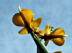 Fonds d'écran Nature fleur de genet