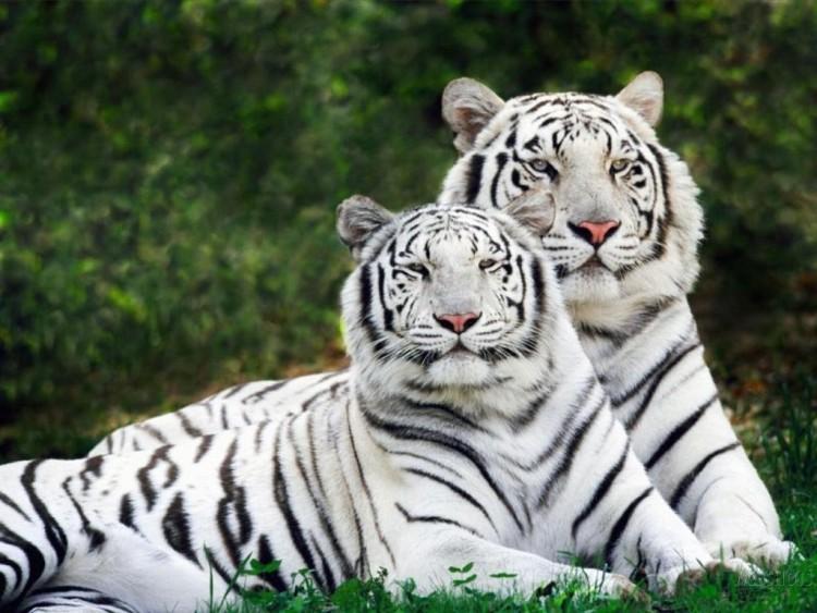 Fonds d'écran Animaux Félins - Tigres Family feline:Tigers