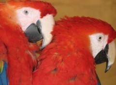Wallpapers Animals un petit couple de perroquets