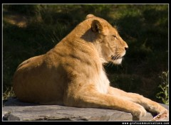 Wallpapers Animals lionne