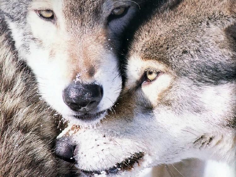 Fonds d'écran Animaux Loups Wallpaper N°174892