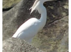 Wallpapers Animals Aigrette
