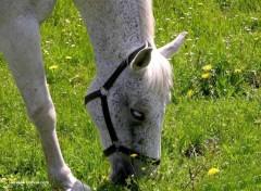 Fonds d'écran Animaux cheval