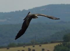 Fonds d'écran Animaux Faucons en vol