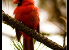 Wallpapers Animals Le cardinal