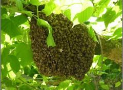 Fonds d'écran Animaux Essaim d'abeilles