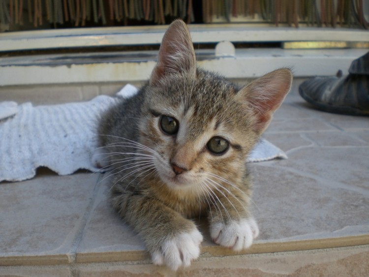 Fonds d'écran Animaux Chats - Chatons Isis