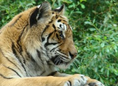 Wallpapers Animals Tigre du zoo de la Boissiere