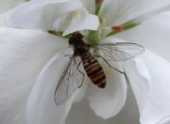 Fonds d'écran Animaux abeille tunisie