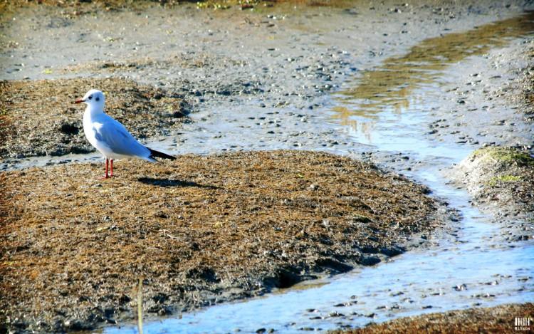 Wallpapers Animals Birds - Gulls Petite mouette