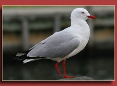 Wallpapers Animals mouette a une patte