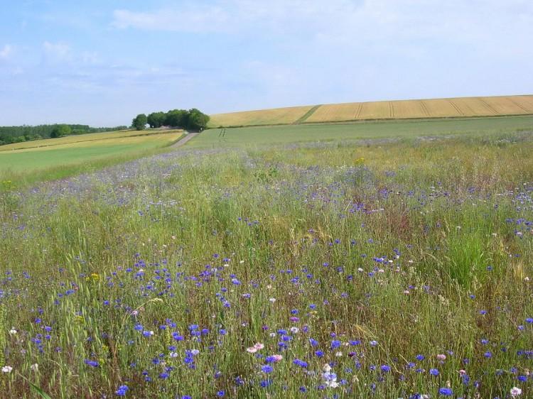 Fonds d'écran Nature Champs - Prairies Champ fleuri