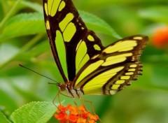 Fonds d'écran Animaux Papillon exotique