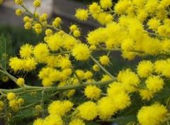 Fonds d'écran Nature mimosa de nice