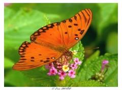 Fonds d'écran Animaux Papillon de Guyane