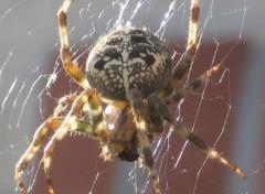 Fonds d'écran Animaux araignée d'automne