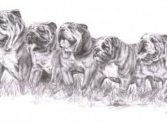 Wallpapers Art - Pencil Bouledogues Anglais