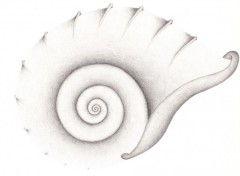Fonds d'écran Art - Crayon Ammonite
