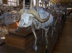 Fonds d'écran Animaux Squelette de buffle africain