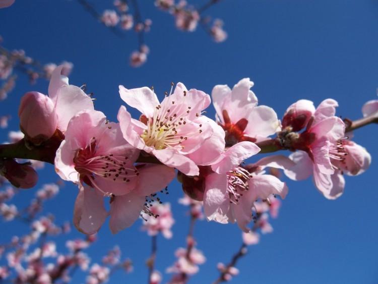 Fonds D Ecran Nature Fonds D Ecran Fleurs Pecher En Fleur Par