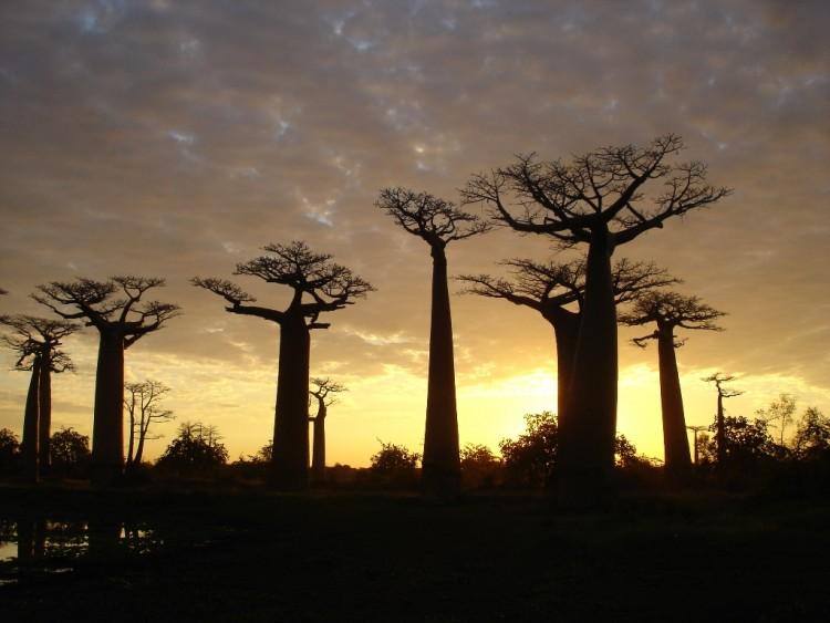 Wallpapers Trips : Africa Madagascar Allée des Baobab