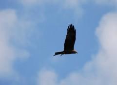 Fonds d'écran Animaux vol de faucon