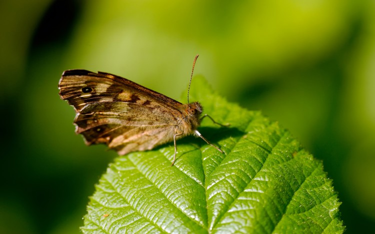 Wallpapers Animals Insects - Butterflies Tircis