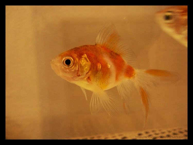 Fonds d'écran Animaux Poissons d'eau douce Fishes are happy.