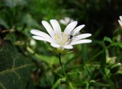 Fonds d'écran Nature insecte sur une stellaire