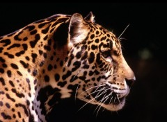 Wallpapers Animals Jaguar de profil