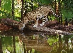 Fonds d'écran Animaux La soif d'un jaguar...