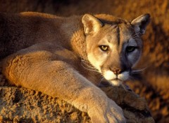 Wallpapers Animals Puma attentif