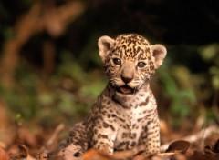 Fonds d'écran Animaux Bébé jaguar...