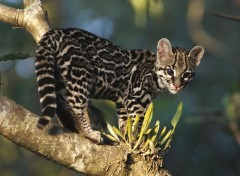 Wallpapers Animals Margay sur une branche...