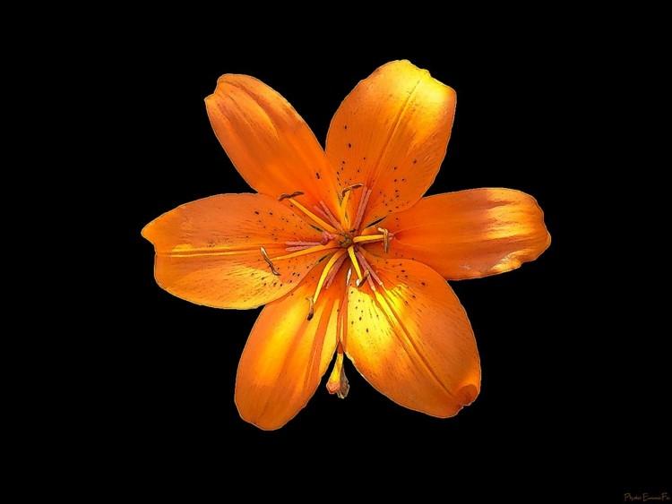 Wallpapers Nature Wallpapers Flowers Lys Orange By Emmafa Hebus Com
