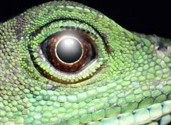 Fonds d'écran Animaux gros lézard vert