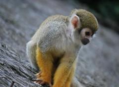 Fonds d'écran Animaux petit singe
