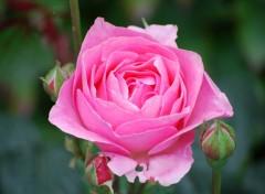Fonds d'écran Nature Rose du jardin des plantes d'Enghien