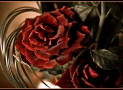 Wallpapers Nature Roses