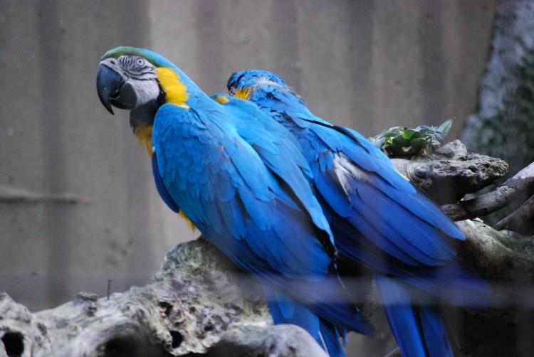Fonds d'écran Animaux Oiseaux - Perroquets Couple de perroquets bleu